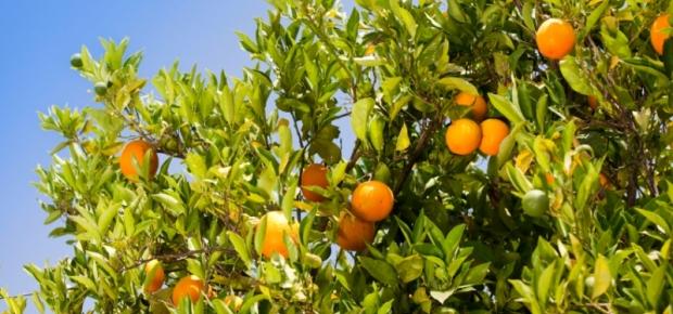 Grey Water Fruit Trees