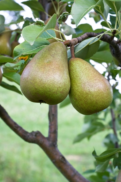 Growing Pear Trees Home Improvement Pages Hipages Com Au