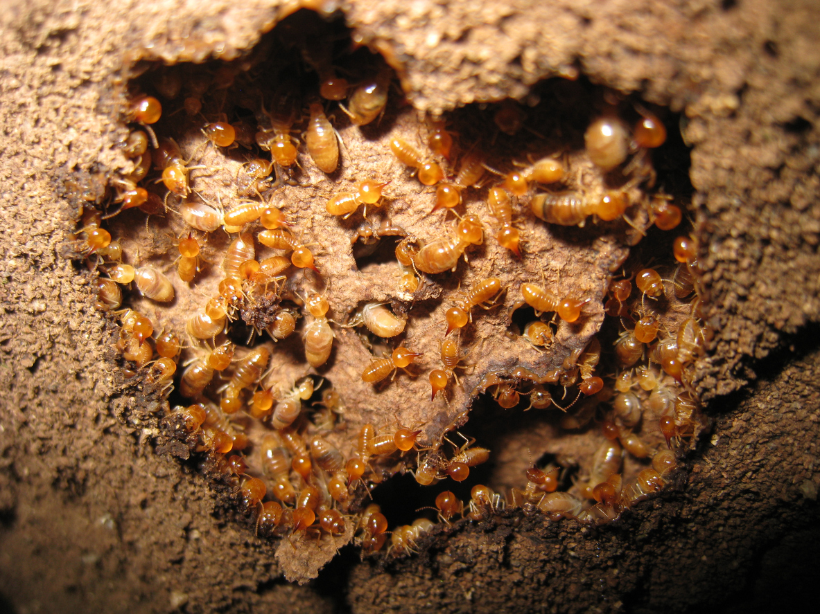 How To Tell If You Have Termites In Your Walls Hipages