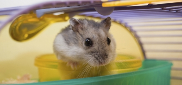 Why Can't I Buy a Gerbil or Hamster in Australia?