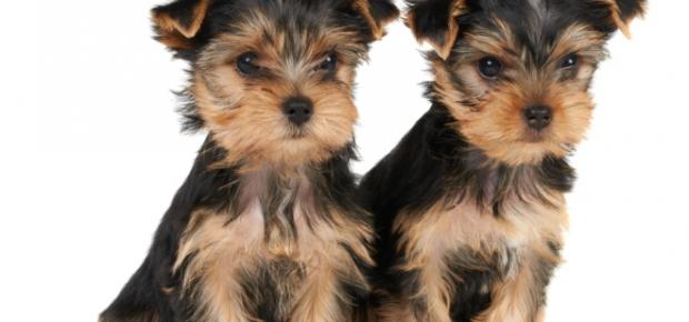 Yorkshire Terrier Breeders
