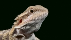 Owning A Bearded Dragon