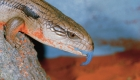 Keeping Reptiles As Pets - Blue Tongue Lizard