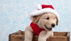 Who Says Pets Aren't For Christmas?