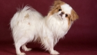 Japanese Chin Breeders