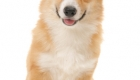 Welsh Corgi Breeders