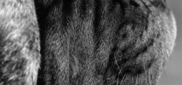 Mastiff Breeders