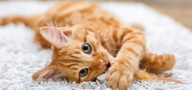 Desexing Your Kitten or Cat