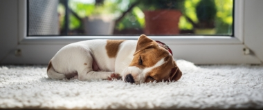 Do Dogs Really Dream? Let's Ask Science...