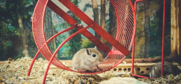 Providing Engagement for Your Pet Mice