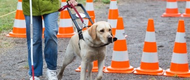 How to Raise a Guide Dog Puppy