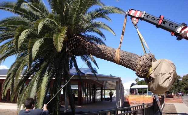 Intensive Tree Care Service Collaroy Plateau 16
