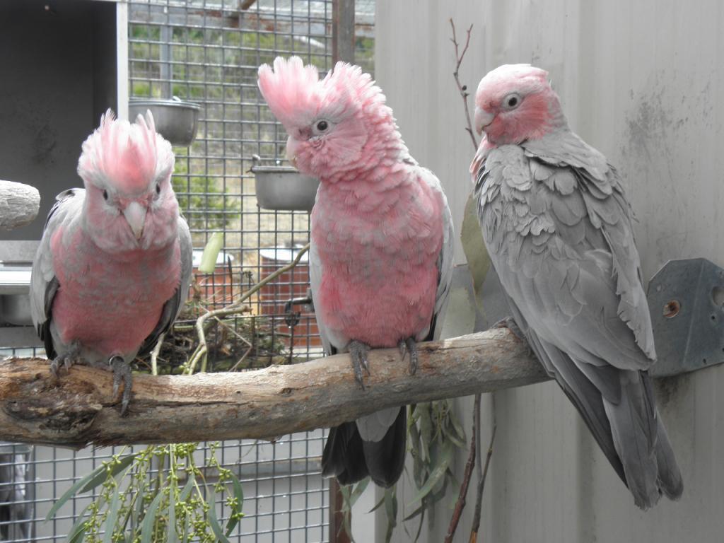 2015 Kulhi Galahs (Diminutive Northern Australian Galah  subspecies) 1 cock and 2 hens