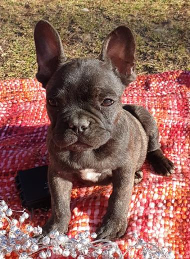 For Sale - French Bulldogs- Pups available NOW!!!! - petpages com au