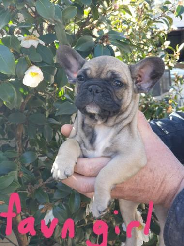 For Sale - French Bulldogs- Pups available NOW