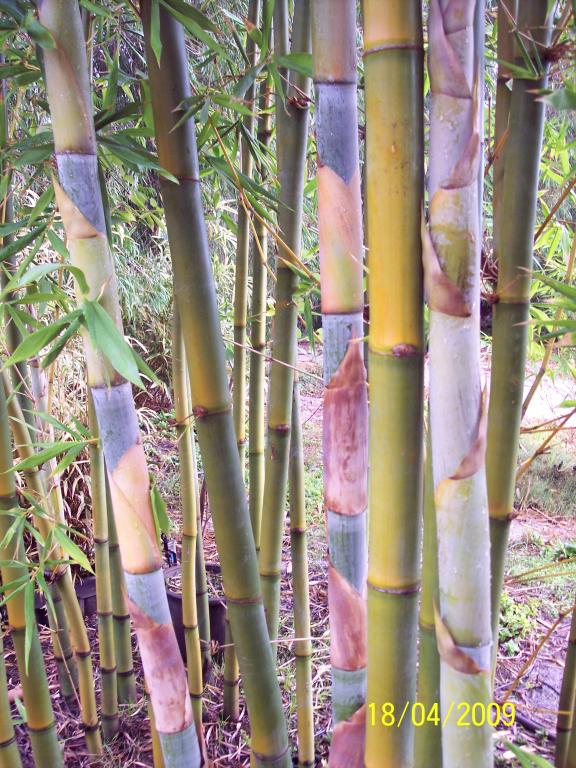Western Bamboo Servicing Perth Metro Area And Regional