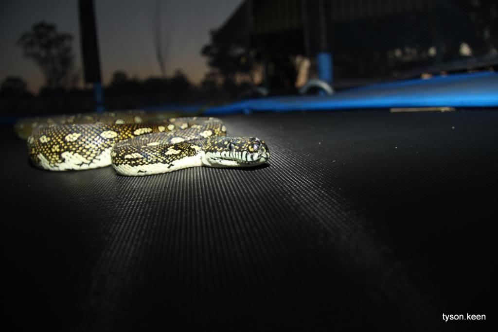 Diamond Pythons