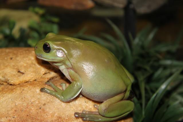Green Tree Frogs And Bynoes Geckos