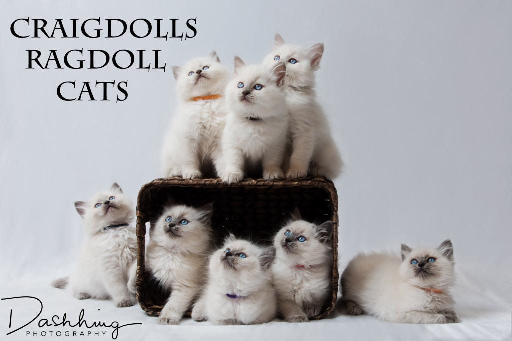 Craigdolls Ragdoll Cats