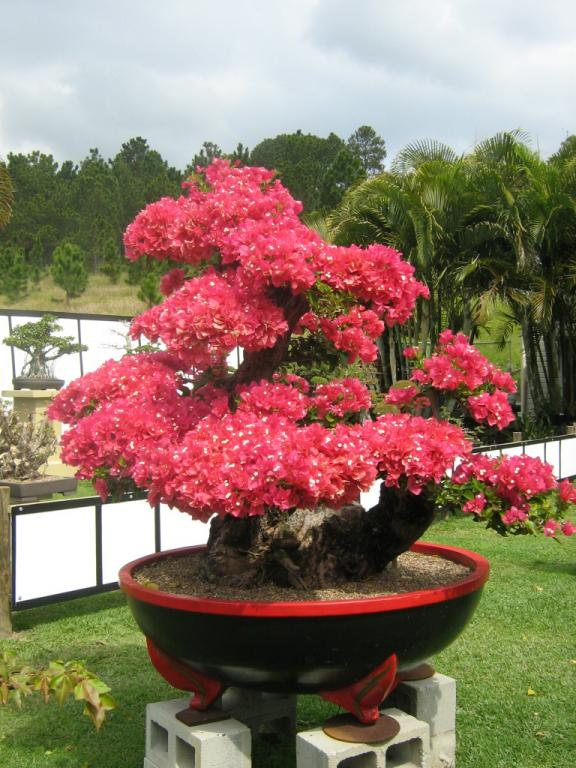 Red Dragon Bonsai Currumbin Queensland