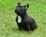 Nadine - French Bulldogs