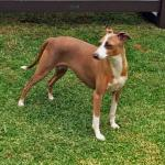 Nyssa - Italian Greyhound