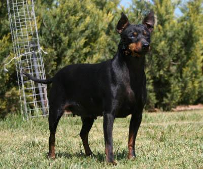 English Toy Terriers