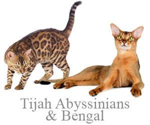 Tijah Bengals & Abyssinians, Suzanne Hatcher - Camden