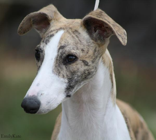 Taejaan Whippets