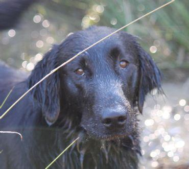 Our Flat Coated Retrievers