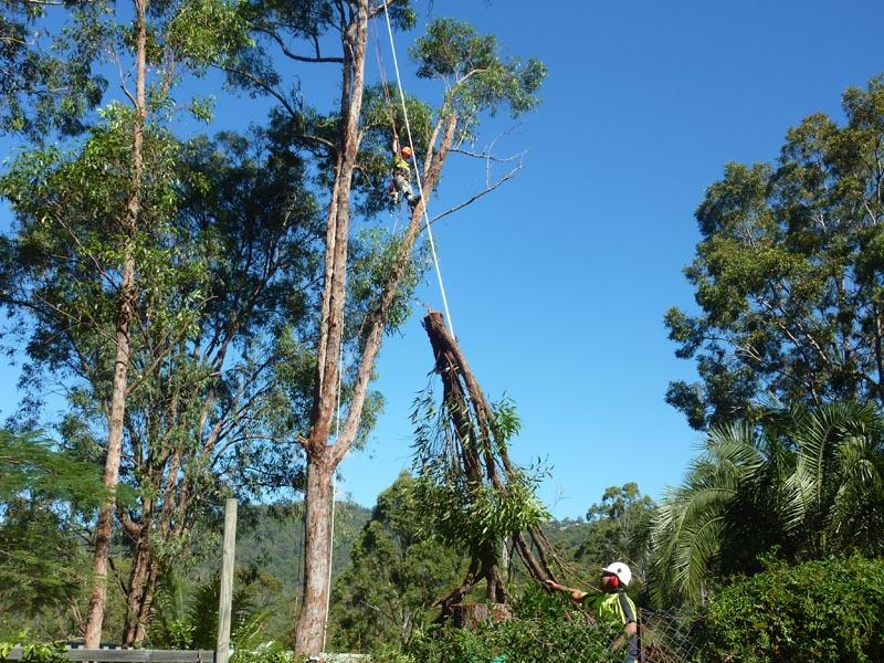 Kiwi Tree Lopping Arborists Brisbane Hipages Com Au
