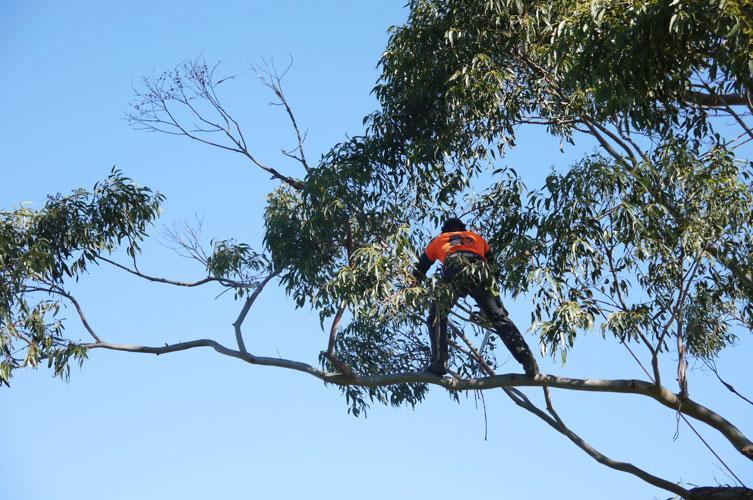 Aura Tree Services Servicing Sydney Wide Greg Paul