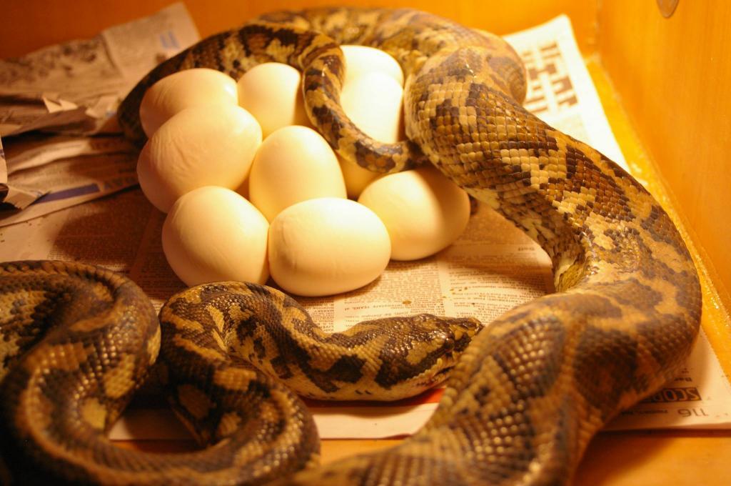 Classic Pythons