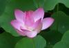 Lotus Oriental Therapies