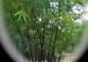 Western Bamboo